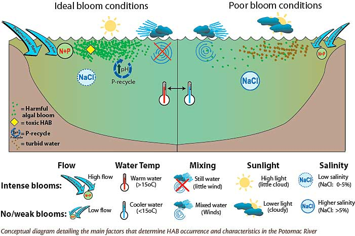 what is the relationship between habs and toxic phytoplankton